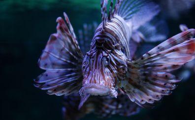 Lionfish in aquarium, close up