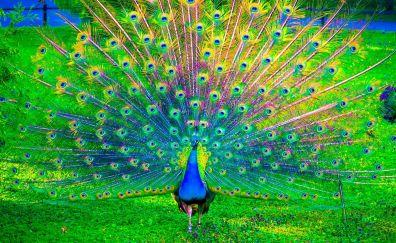 Peacock, Peafowl colorful bird dance