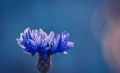 Cornflower, blue flower, close up, blur