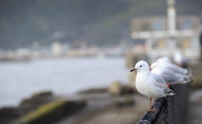 Seagull, bird, sitting, fence
