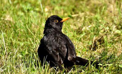 Songbirds, black bird, grass
