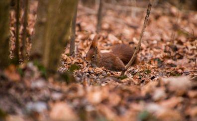Squirrel in garden autumn, dry leaves