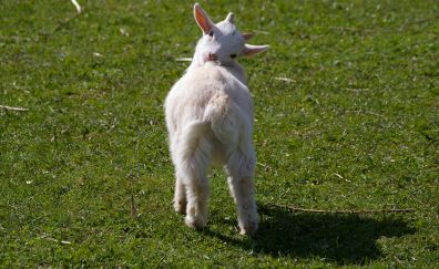 Goat, lamb, baby animal, domestic animal