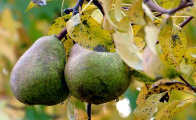 Pear pair on tree