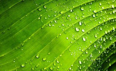Drops, ribs of green leaf, close up