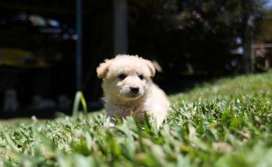 White canine dog puppy, grass field