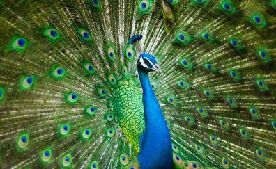 Beautiful male, peacock, colorful bird