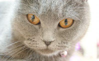 Chartreux cat muzzle, pet animal