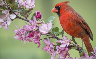 Northern Cardinal bird sitting, flowers,