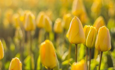 Flowers, spring, morning, yellow tulip, meadow