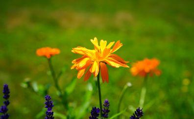 Marigold flower, blossom, blossom