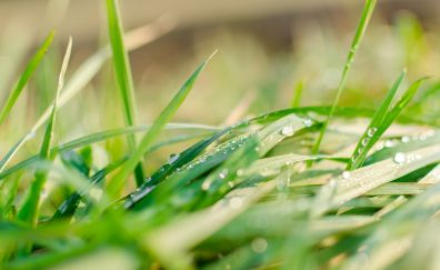 Green grass, dew, drops, close up