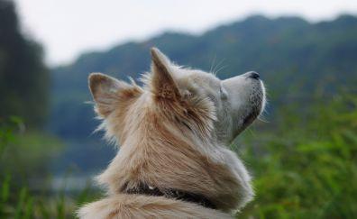 West Siberian Laika, white dog