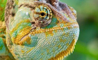 Chameleon muzzle, lizards, reptile