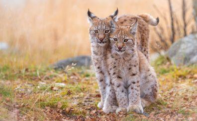 Lynx, cats, wild animal