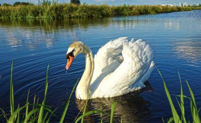 Bird, white swan, swimming, lake, 4k