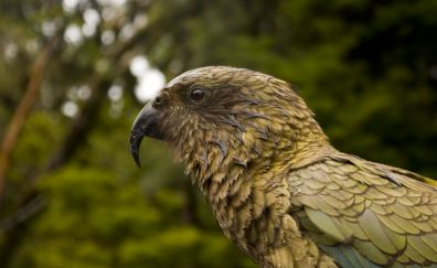 Kea parrot, bird