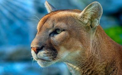 Cougar, wild cat, muzzle, animal, 4k