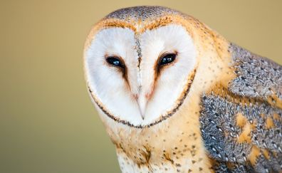 Barn owl, close up, muzzle, predator