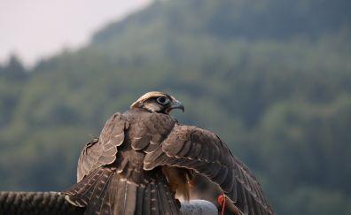 Falcon bird, raptor, birds