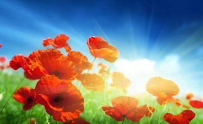 Poppy flowers field sunrise