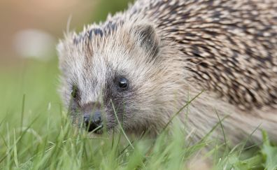 Hedgehog, grass, curious animal