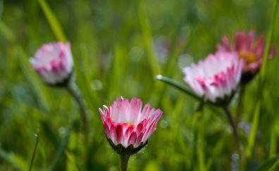White pink daisy, bloom, grass, park