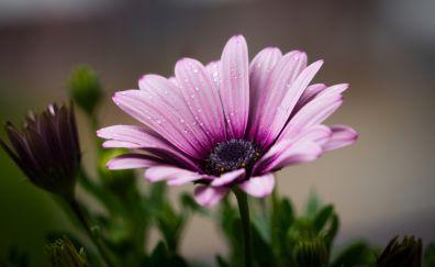 Flower, petals, drops, lilac, pink