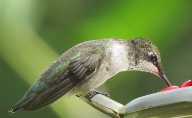 Hummingbird, small, bird