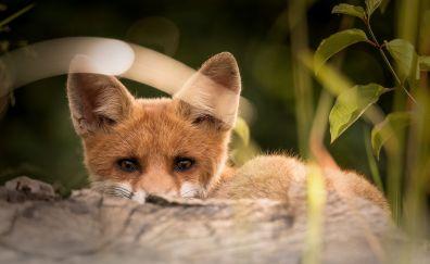 Little fox animal, baby animal, cute
