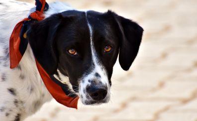 Dog, collar, scarf, Beagle, muzzle, 4k
