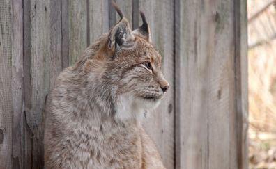 Lynx, cat, muzzle, 4k