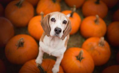 Beagle, dog, pumpkins