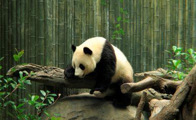 Wild animal, panda, spots, zoo