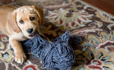 Dog, puppy, rope, playing