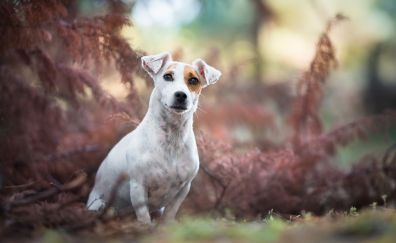 Beagle, meadow, play, dog, stare