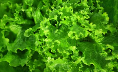 Green leaves, vegetables, salad