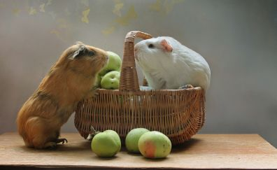 Guinea pig, small animal, adorable rodents