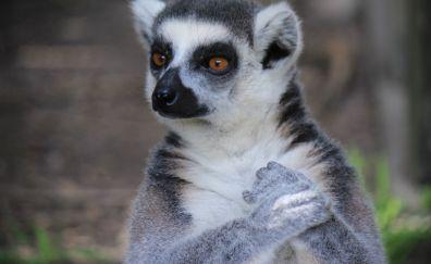 Lemur, furry animal