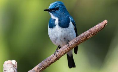 Cute, blue bird, close up