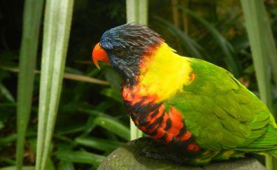 Guadeloupe parakeet bird, parrot, colorful birds