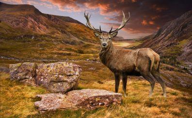 Deer, horns, wild animal