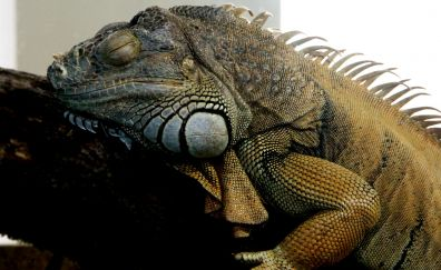 Iguana, reptile, sleeping, animal