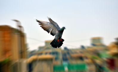Pigeon, dove, bird, portrait, flight