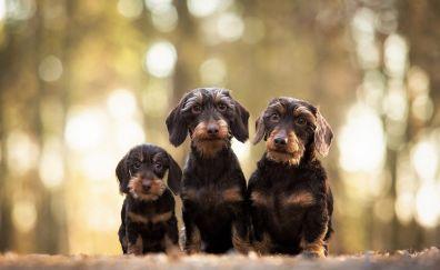 Dachshund, cute dogs, puppy, stare