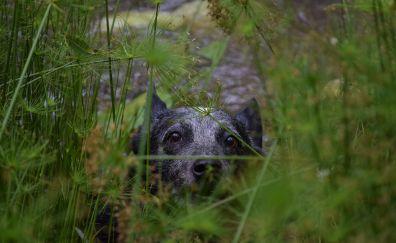 Australian Cattle Dog, animal, muzzle, grass