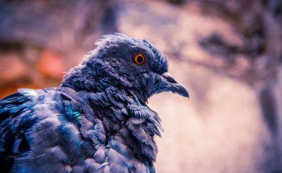 Dove, bird, close up, feathers