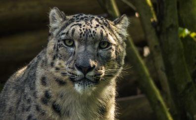 Snow leopard, muzzle, wild animal, 4k