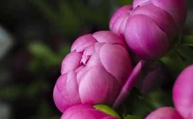 Bloom, bud, flowers, pink rose, 5k