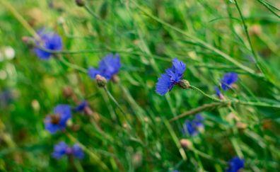 Cornflowers, blue flowers, meadow
